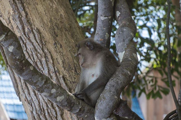 Apen zijn de dieren die je het meest ziet in de natuur in Vietnam